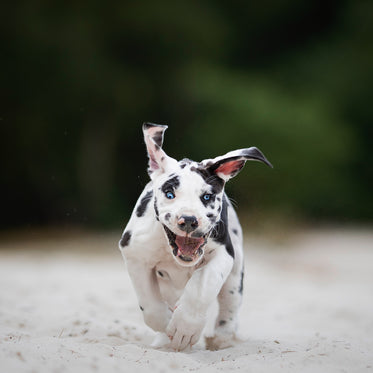 puppy running towards the camera on a beach