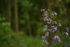 purple wildflowers in the forest