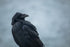 raven looking over wing on overcast day