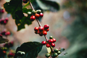 raw coffee beans on branch