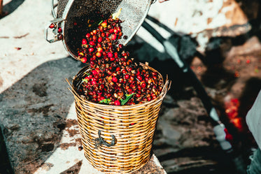 raw coffee being harvested