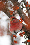 red bird in red berry tree