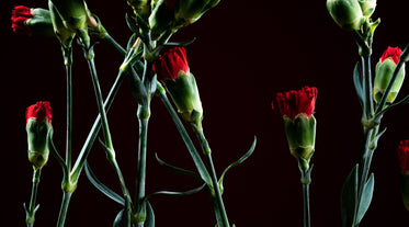 red carnation that have yet to bloom