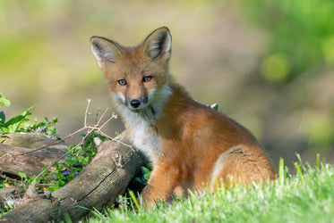 red fox sits in green grassy field