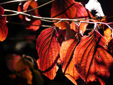 red leaves on branch