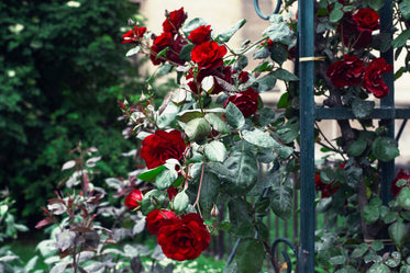 red roses grow