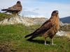 red tailed hawk on hill