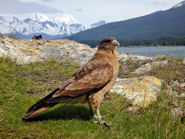 red tailed hawk on mountain top