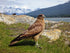 Browse Free HD Images of Red Tailed Hawk On Mountain Top