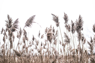 reeds flow in the breeze on a cloudy day