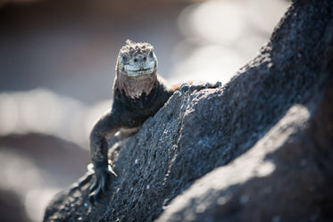 reptile smile on rock