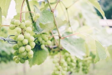 ripe green grapes on the sunny vine