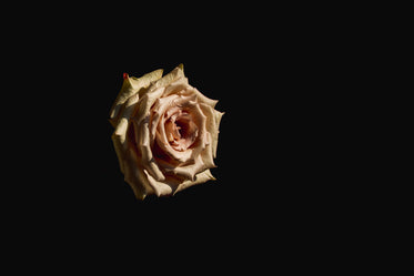 High Res Rose On Black Background Picture — Free Images