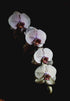 row of four orchid blossoms