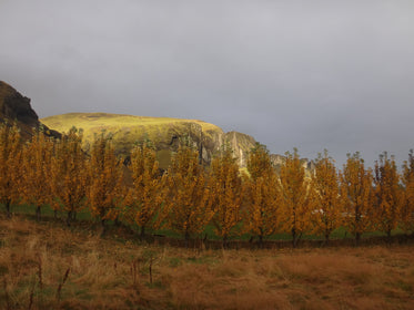 row of yellow trees by field and hills