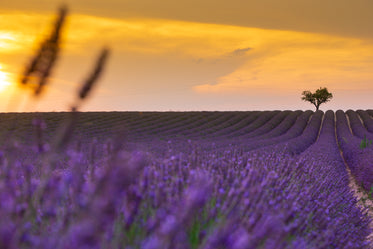 rows of purple lavender at yellow sunset