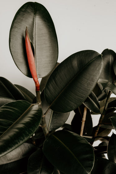 rubber tree plant leaves