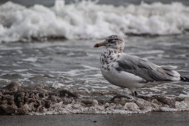 seagull stands in shallow water on the shoreline