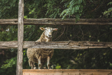 High Res Sheep By Fence Picture — Free Images