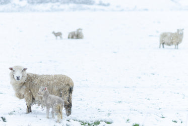sheep guiding their young through the snow