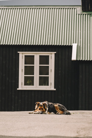 sheepdog resting in front of green metal shed