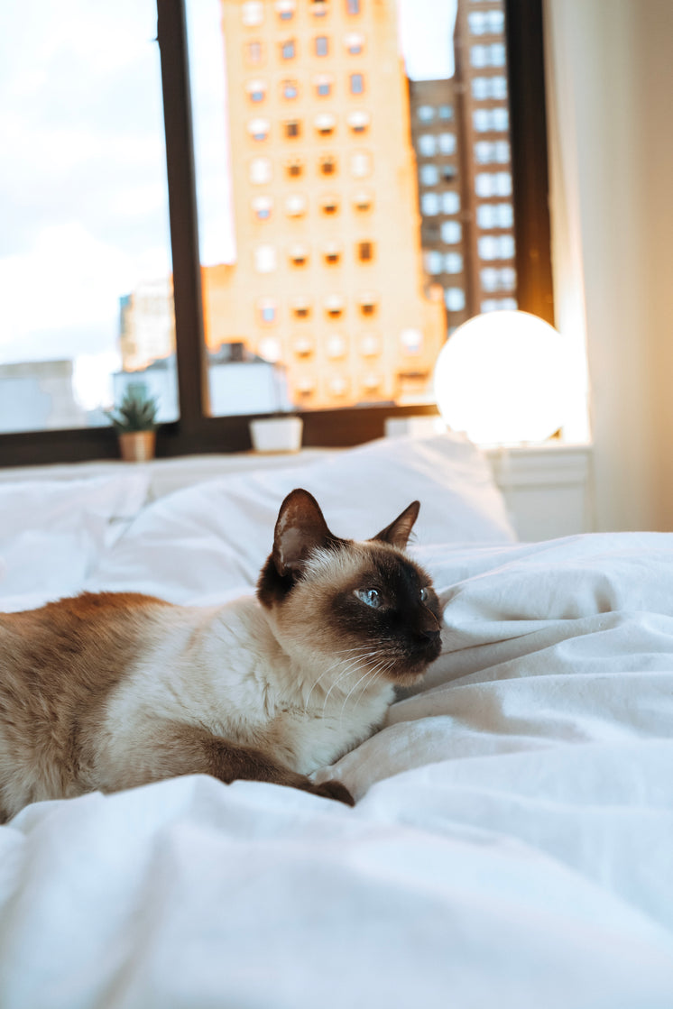 Siamese Cat Laying In White Bedding
