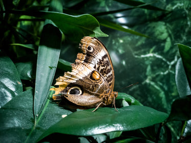 side profile of brown butterfly