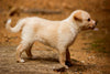 side view of a small blond puppy