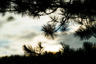 silhouetted pine tree