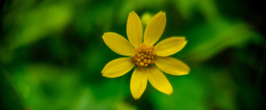 single yellow flower in middle of the frame