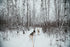 sled dog team on path in snow-covered poplar forest in winter