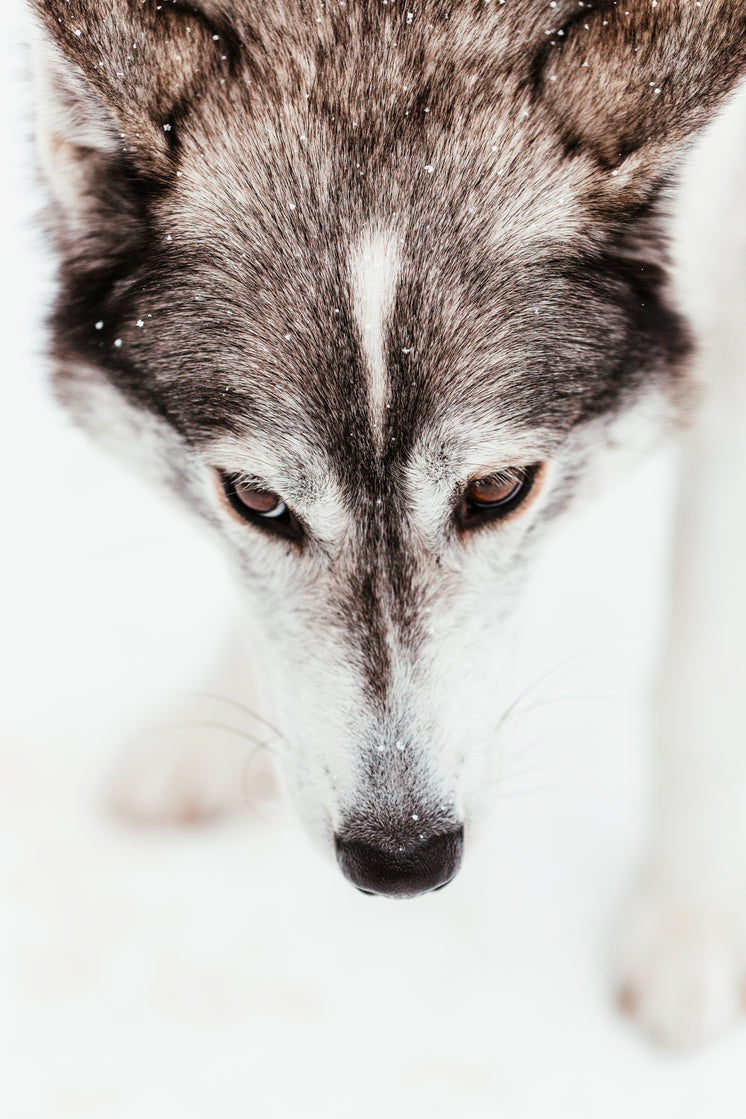 Sled Dog With Warm Brown Eyes Lowers Nose To Ground