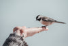 small bird eats in the palm of a hand