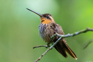 small bird with a long thin beak sits on wooden branch