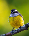 small black and white bird with a yellow belly