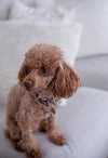 small brown dog sits on a white couch