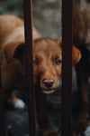 small brown puppy stares through a fence