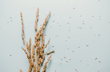 small bundle of wheat on a blue background