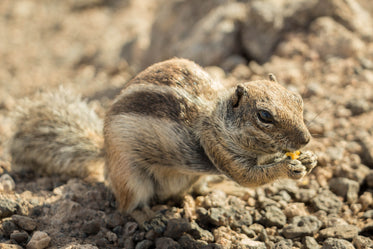 small chipmunk eating seeds