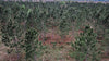 small evergreen trees in arid forest