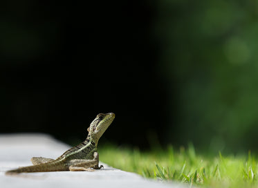 small green lizard looks out to green grass