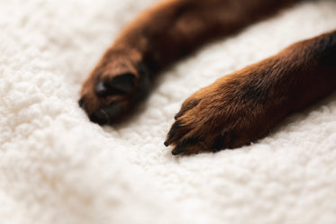 small puppy paws on a white blanket