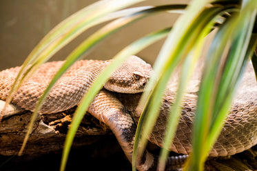 snake coiled and resting on log in enclosure