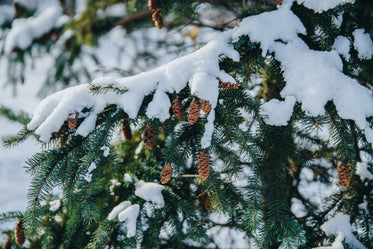 snow covered pine tree branch