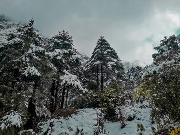 snow covered tall trees on a cloudy day