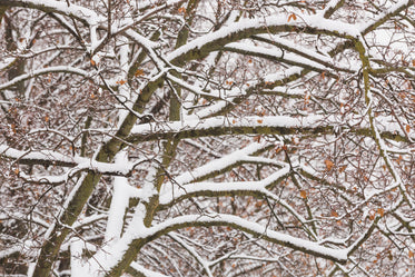 snow covered tree branches
