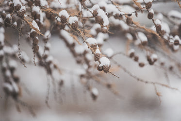 snow on pinecones and branches