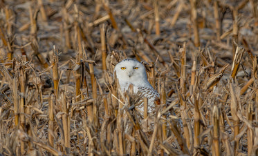 snow white owl in a farmers field