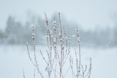 snowfall on withered plant