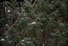 snowflakes dust the needles of pine trees in the woods